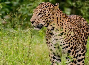 Leopard entered village, attacked child and climbed tree, people in panic