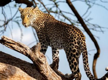 Leopard took 4-year-old's life, ran into his mouth