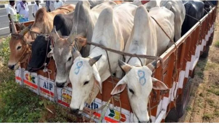 Cattle smuggling,